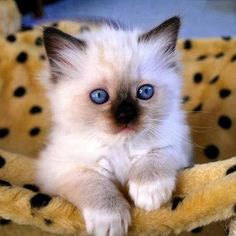 Top 5 of the Most Affectionate Cat Breeds - Cats and dogs - Katzen Fluffy Kittens, Cute Cats And Dogs, Little Kittens, Cute Cats And Kittens, Baby Cats, I Love Cats, Ragdoll Kittens, Adorable Kittens, Bengal Cats