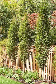 Carpinus betulus 'Fastigiata' - columnar accents add spice to a garden.