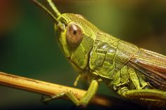 Grasshopper  #bug #closeup #cricket #grasshopper #green #hopper #insect #large; #locust #macro #pest #wildlife
