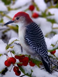 Red-bellied Woodpecker in the snow (Male pictured)  The Red-bellied Woodpecker (Melanerpes carolinus) is a medium-sized woodpecker of the Picidae family. It breeds in southern Canada and the northeastern United States, ranging as far south as Florida and as far west as Texas. Its common name is somewhat misleading, as the most prominent red part of its plumage is on the head.  Credit: http://en.wikipedia.org/wiki/Red-bellied_woodpecker  Photo Source…