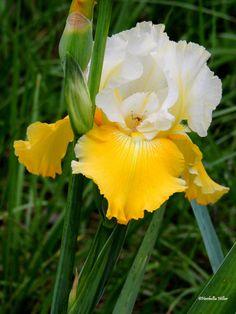 Iris  Iris Prints Fine Art Photography Floral Decor by hershellias