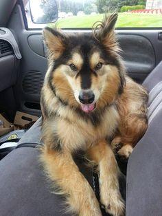Goberian (Siberian Husky / Golden Retriever Mix). Woobie needs a friend!