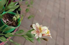 Alstroemeria 'Athena' - Of medium height, this lily will add loads of cream flowers to your border. Extended flowering time from May-Oct will ensure plenty of cut flowers too. Cream Flowers, Cut Flowers, Colorful Garden, Summer Flowers, Garden Furniture, Poultry, Lily, Colour, Medium