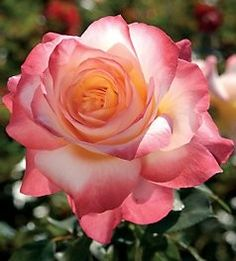 """Summer of Love"" - Hybrid Tea rose"