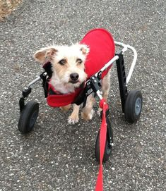 "Wheelchairs for Handicapped Dogs | Hand Built Quality by Ruff Rollin | ""Buddy"" Terrier Mix"