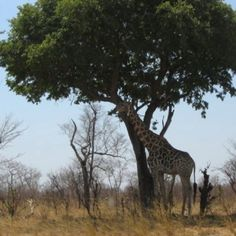 Zimbabwe. This giraffe better still be there when I get there.