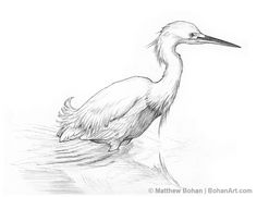 Wading Snowy Egret Pencil Sketch