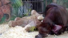 Orangutan Jago plays with teddy bear