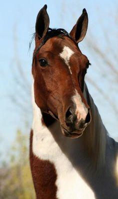 Pretty paint.looks like my horse