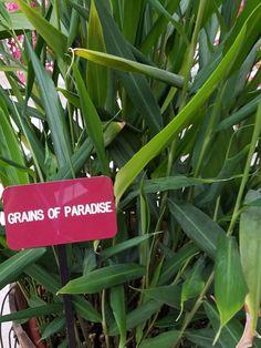 Edible Wild Plants, Celery, Grains, Herbs, Vegetables, Herb, Vegetable Recipes, Seeds, Veggies