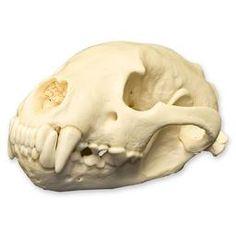 WSM-500: Wolverine Skull (Natural Bone Quality A) $199.00