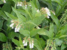 la consoude officinale (symphytum officinalis)