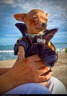 Moyan Brenn – A pretty and funny Chihuahua of a friend or mine.