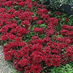 Dragon's Blood Sedum   = I'm considering planting this in front of my Autumn Joy sedum