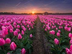Hlavní tulipánová sezóna začíná zhruba v polovině dubna.