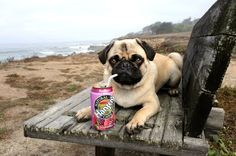 Soda Pug