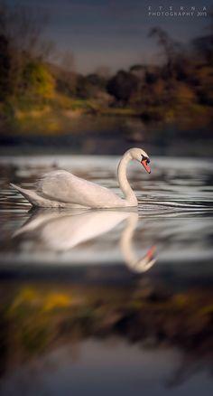 Swan-Lake - Reflection
