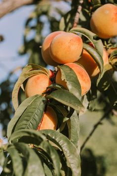 Benefits of applying Cherrypicked Apricot oil : Anti-ageing Helps prevent blackheads Protects against dehydration Softens and soothes skin What are you waiting for? Buy now from www. Fruit Photography, Digital Photography, Fruit Picture, Peach Fruit, Peach Trees, Flowering Trees, Pictures, Photos, Midsummer Dream