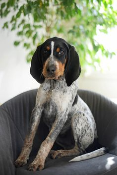Bluetick Coonhound Dog / Grand Bleu de Gascogne #Hounds #Dogs #Puppy
