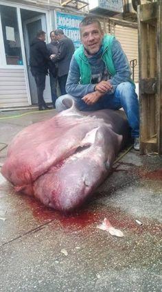 Marmara'da Dev Köpek Balığı Yakalandı  #KöpekBalığı #Marmara Devamı https://www.sadecegercekler.com.tr/2-sayfa/haber/13102015-marmarada-dev-kopek-baligi-yakalandi/