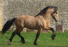 Buckskin/dun Welsh Cob Pony