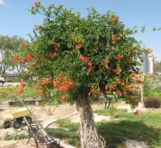 Trumpet Vine turned into a tree, also want this and Esperanza all over the garden archway.