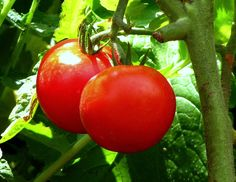 10 Tomatoes You Can Grow in a Container Garden {also check out this link for growing tomatoes inside during the cool and colder months- http://farmerfredrant.blogspot.com/2010/11/growing-tomatoes-in-fall-and-winter.html }