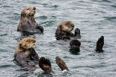 Sitka, Alaska - Sea Otters