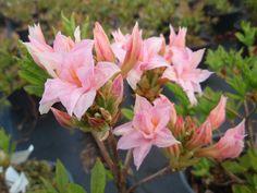 Atsalea 'Ruususen uni' / Rhododendron Rustica Mixture -rist. Aurinko, I-III.