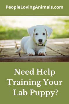 Doggy Dan's Perfect Puppy Program is the best puppy training for your Lab puppy. It's effective and affordable. Puppy Training, Dog Training