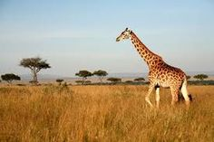 Image result for giraffes