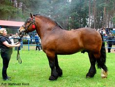 Polish Coldblood - stallion Aster. Such a heavy guy!