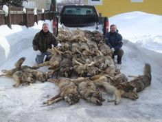 This has got to STOP!! Isn't there a limit on how many wolves one can murder?