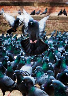 Kathmandu - Pigeons of Dubar Square Flying Pigeon, Pigeon Bird, Street Chicken, Kinds Of Birds, My Spirit Animal, Chickens Backyard, Exotic Pets, Writing Inspiration, Beautiful Birds