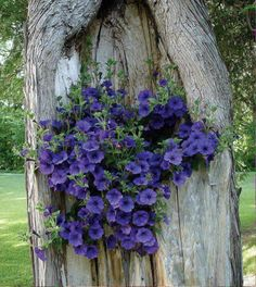 Dark Blue Petuinas perched in  the hull of a tree cascading down showing off her beautiful bloom of flowers