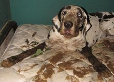 """hahaha wow: Rocky Ridge Rescue has made it to the """"Extreme Eight."""" Please click on the link and vote for DooDah + mud + mattress.  We had a dry Summer here, but finally got a good rain one day....DooDah my Great Dane took full advantage of the resulting fun! Once tired of her do-it-yourself mud treatment, she plopped down on the mattress I had removed the sheets from to wash already. She couldn't quite believe I caught her there! www.facebook.com/... lorisu"""