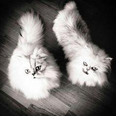 Silver chinchilla kittens