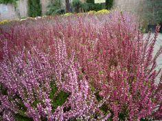 A csarab (Calluna vulgaris) az őszi ablakládák egyik kedvelt dísze. http://kertlap.hu/hangak/