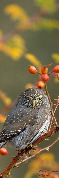 Birds of Prey - Boreal Owl