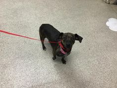Dog is an adoptable dachshund searching for a forever family near Riverside, CA. Use Petfinder to find adoptable pets in your area. Mini Dachshund, Dachshund Puppies, Dachshund Adoption, Riverside County, Searching, Pets, Animals, Animales, Search
