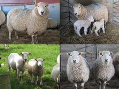 These fab rare breed sheep make twool. The Whiteface Dartmoor.