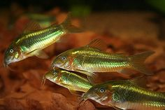 Gill, 1858 Common Name(s) Green Laser Cory Peru Green Stripe Cory. Freshwater Plants, Tropical Freshwater Fish, Freshwater Aquarium Fish, Tropical Fish, Home Aquarium, Aquarium Design, Aquarium Ideas, Aquarium Decorations, Cory Catfish