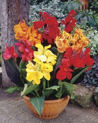 The Container Garden Bulbs provide you with a beautiful and diverse garden. Simply plant them in your favorite containers, the garden or anywhere else, water th Garden Bulbs, Planting Bulbs, Planting Flowers, Flowering Plants, Canna Flower, Flower Pots, Canna Lily, Cascading Flowers, Bulb Flowers