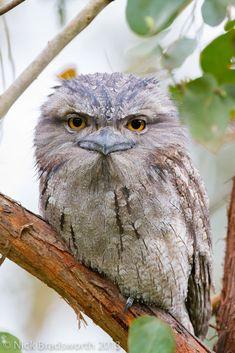 Tawny Frogmouth owl by ʘwl