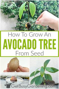 Yes, you can grow an avocado tree from seed using a regular grocery store fruit! Learn exactly how to grow an avocado tree from a pit step-. Grow Avocado From Pit, Avocado Plant From Seed, Growing An Avocado Tree, Avocado Seed, Growing Tree, Growing Plants, Growing Vegetables, Starting A Garden, Seed Starting