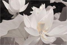 Lotus Flower - IR+RGB - DSIR1460-1 - , ハスの花, 莲花, گل لوتوس, Fleur de Lotus, Lotosblume, कुंद, 연꽃,