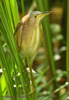 The Yellow Bittern is a tiny heron, substantially smaller than the Butoroides (Green and Striated) species and slimmer too. It is an adherent to fresh water lakes, canals and swamps from India through East Asia, Indonesia and New Guinea.
