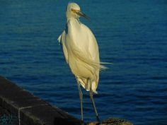 Egret on Oceanside Pier Photograph Printable by NodokaVisualArts, $4.00