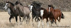 Oppose BLM Plan to Eradicate NV Mustangs from Humboldt Herd Area!  Please sign on to this easy letter to the BLM!  Thanks!
