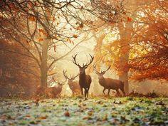 Four Red Deer in the Autumn Forest - Affischer av Alex Saberi på AllPosters.se